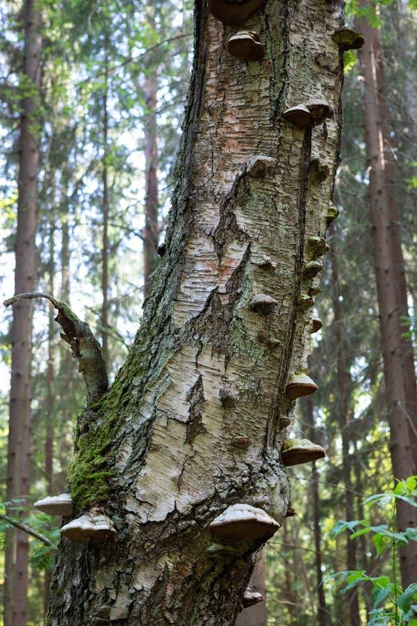 Huby brzozy zbutwiały drzewny bagażnik zdjęcie stock