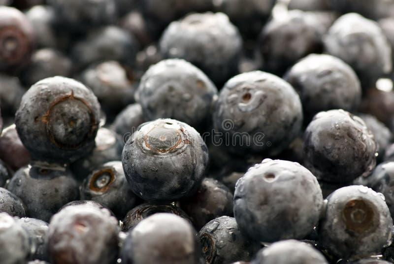 huckleberry zdjęcia stock