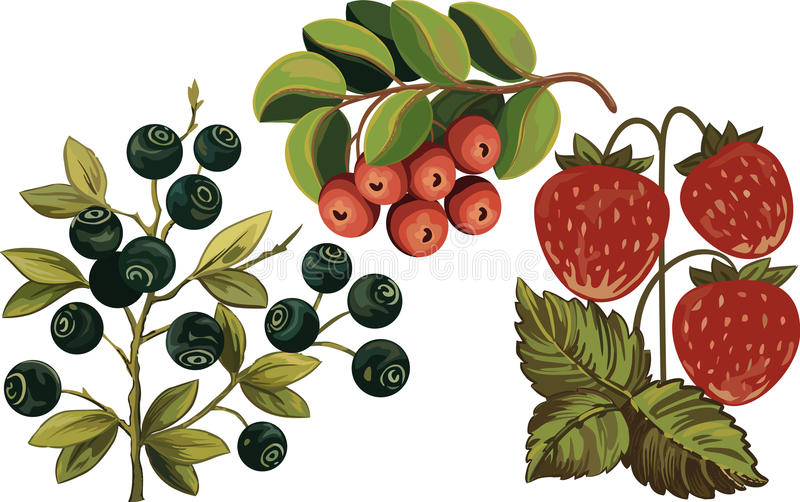 Huckleberry, strawberry and cow-berry vector illustration