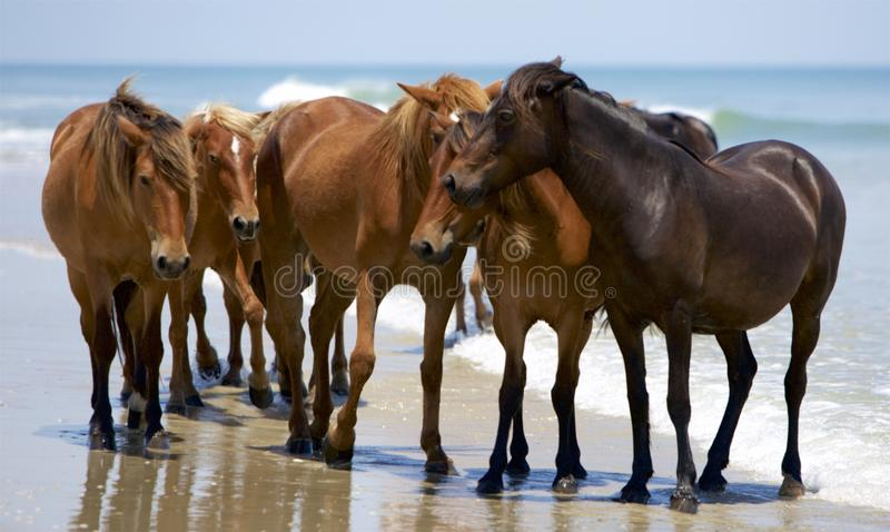 The Huddle. Huddle of beautiful, brown wild horses on the trickling line of surf with blue waters in the background. Sense of warm summer sun but breezy surf stock photos