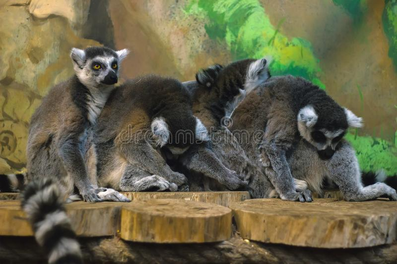 A huddle of ring tailed lemurs royalty free stock photography