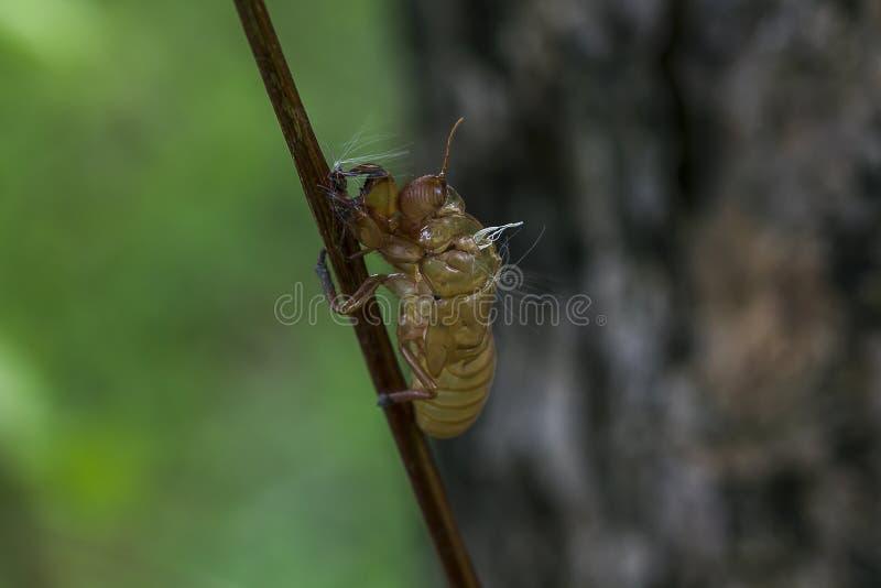 Huden av en cikada är på trädet royaltyfri fotografi
