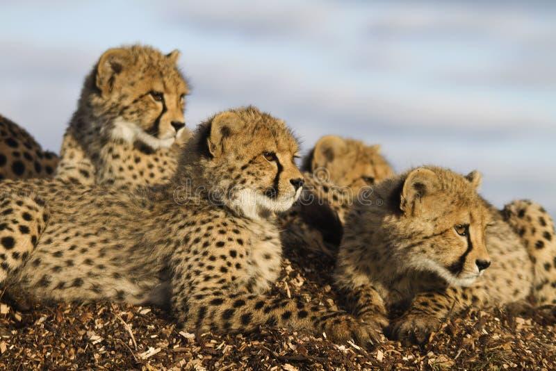 Hudle del guepardo foto de archivo libre de regalías