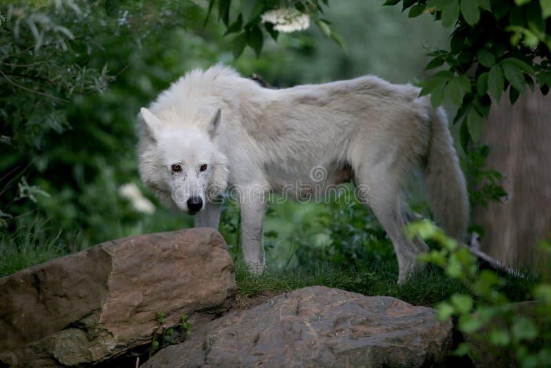 Hudson Bay Wolf royalty free stock photos