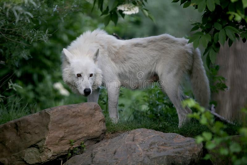 Hudson Baywolf lizenzfreie stockfotos