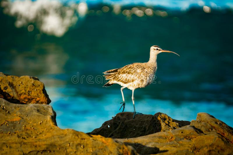 Hudsonian Whimbrel on Rocks With Pacific Ocean in the Background in Southern California. Whimbrel on the Shore in Southern California With Waves Breaking in the stock photo