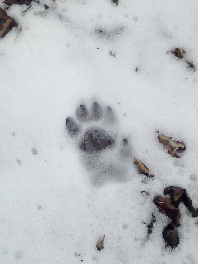 Huella de Fisher en nieve fotografía de archivo