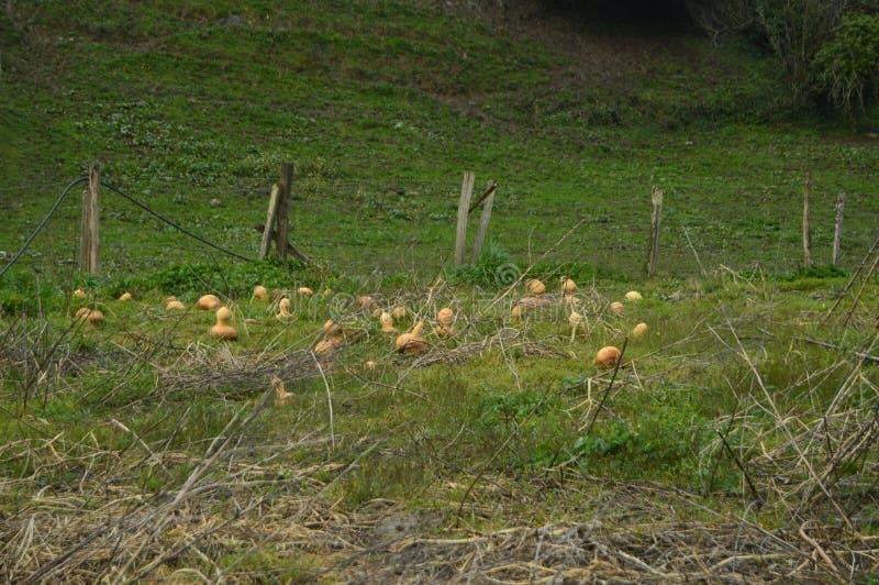 Huerta ecológica de las calabazas en el parque natural de Gorbeia Paisajes de la naturaleza de las verduras imágenes de archivo libres de regalías