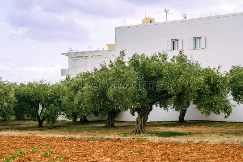 Huerta verde oliva, olivos en el fondo del suelo rojo y edificios blancos Agricultura en la isla de Creta, Grecia foto de archivo