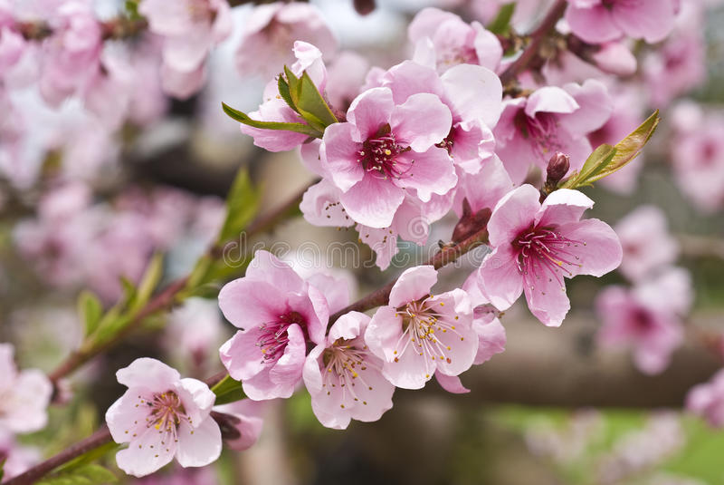 Huertas de cereza en el resorte imagen de archivo