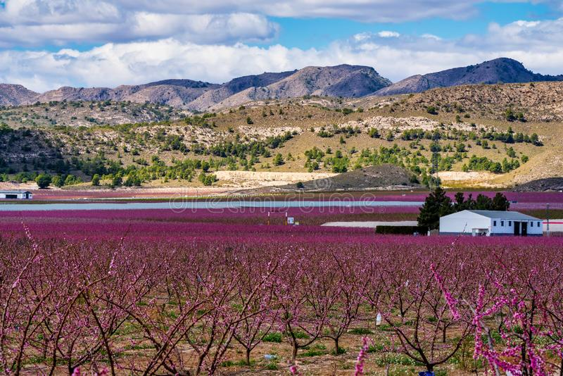 Huertas en la floraci?n Una floraci?n de los ?rboles frutales en Cieza, Murcia Espa?a imagen de archivo