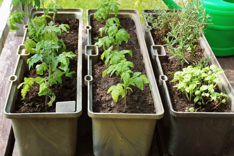 Huerto en una terraza Hierbas, almácigo de los tomates que crece en envase foto de archivo libre de regalías