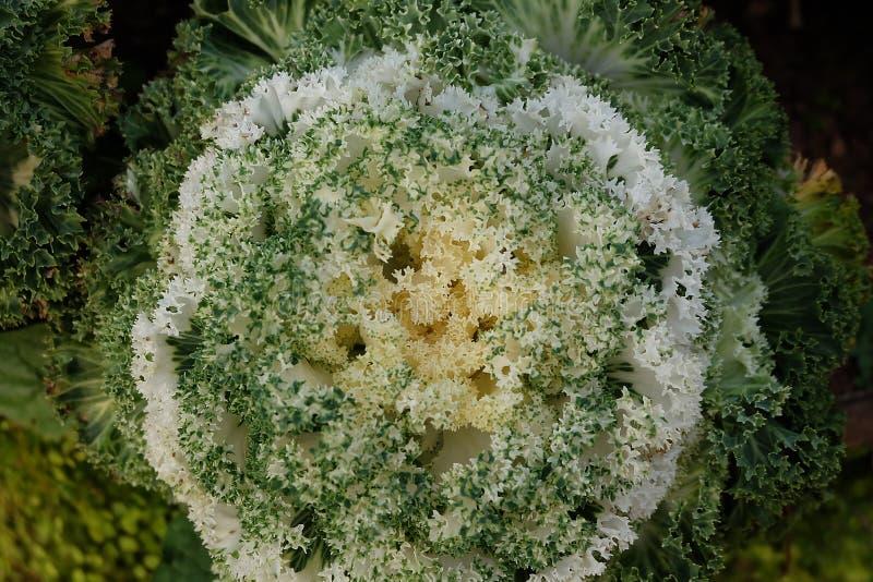 Huerto en verano Hierbas, flores Eco cómodo cabbag fotos de archivo libres de regalías