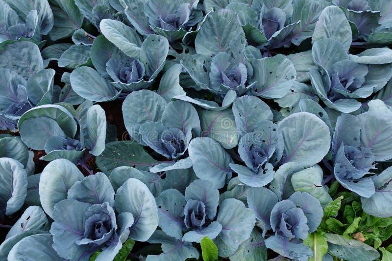 Huerto en verano Hierbas, flores Eco cómodo cabbag imagen de archivo libre de regalías