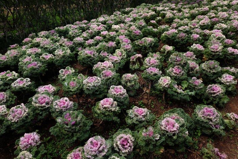 Huerto en verano Hierbas, flores Eco cómodo cabbag fotografía de archivo libre de regalías