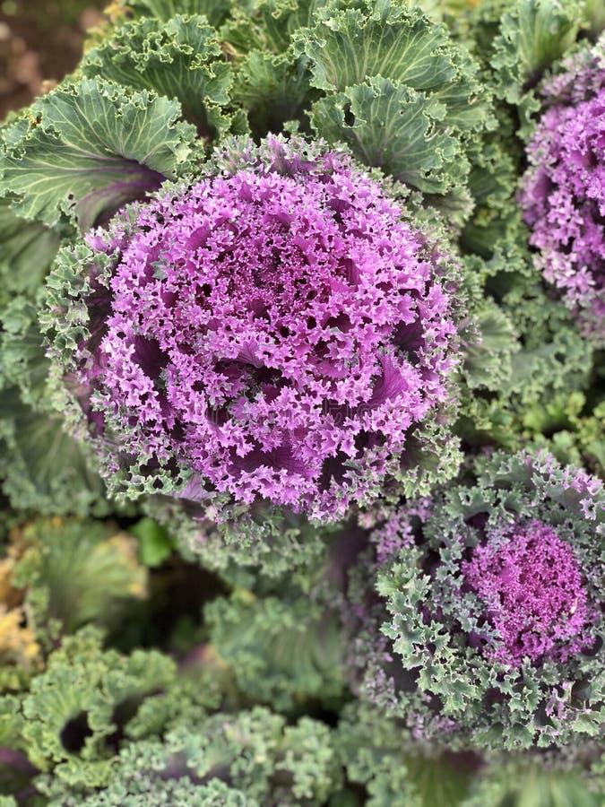 Huerto en verano Hierbas, flores Eco cómodo cabbag foto de archivo libre de regalías