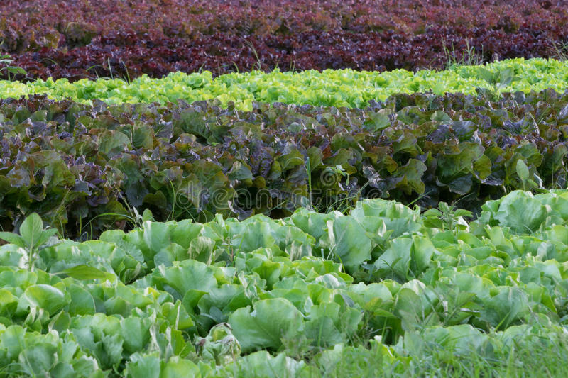 Hues of Health. Lettuce varieties ready for harvest on a local organic farm stock images