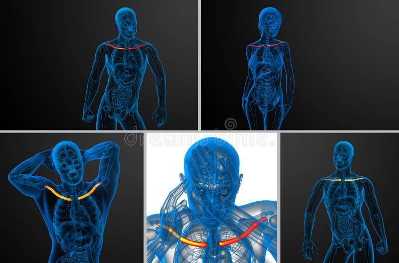 Hueso de la clavícula stock de ilustración. Ilustración de anatomía ...