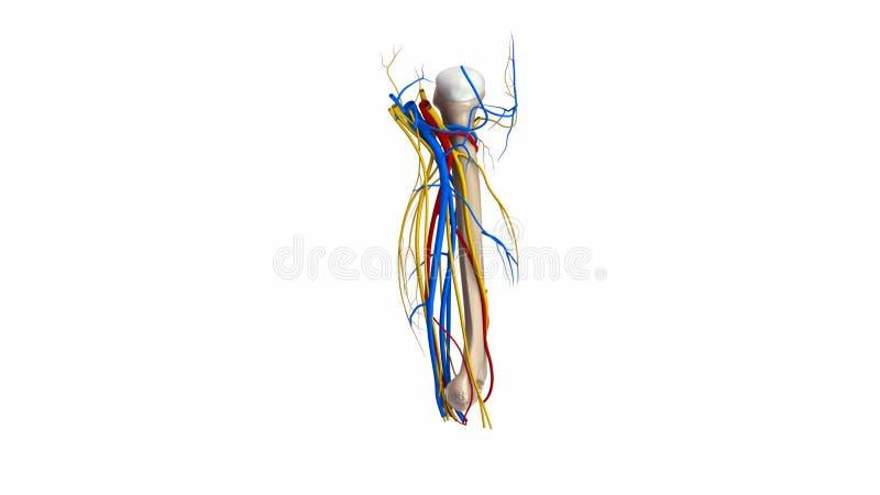 Hueso Del Húmero Con Los Vasos Sanguíneos Y Los Nervios Almacen De ...