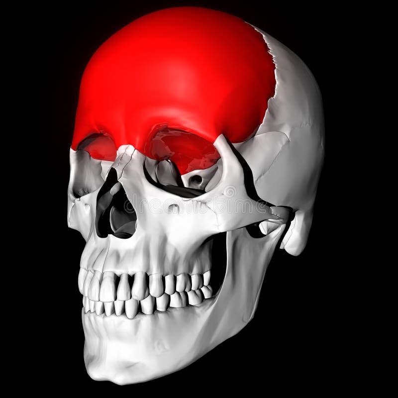 Hueso frontal stock de ilustración. Ilustración de médico - 8016126