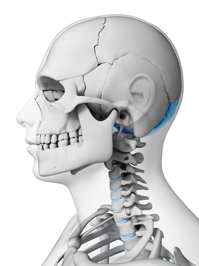 Hueso occipital stock de ilustración. Ilustración de frontal - 30721739