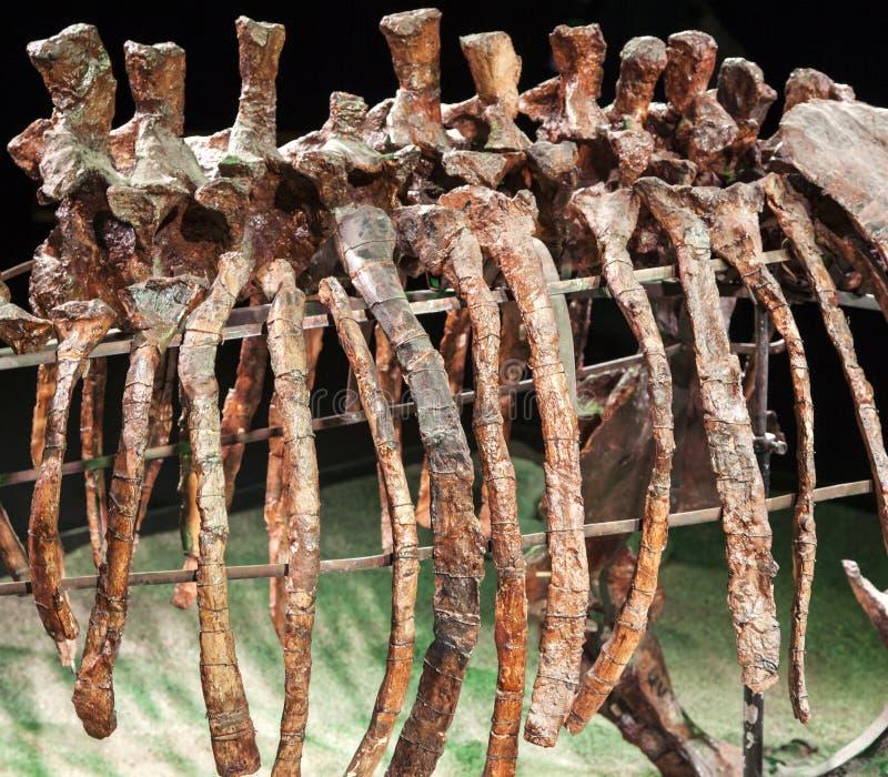 Huesos de dinosaurio fotos de archivo libres de regalías