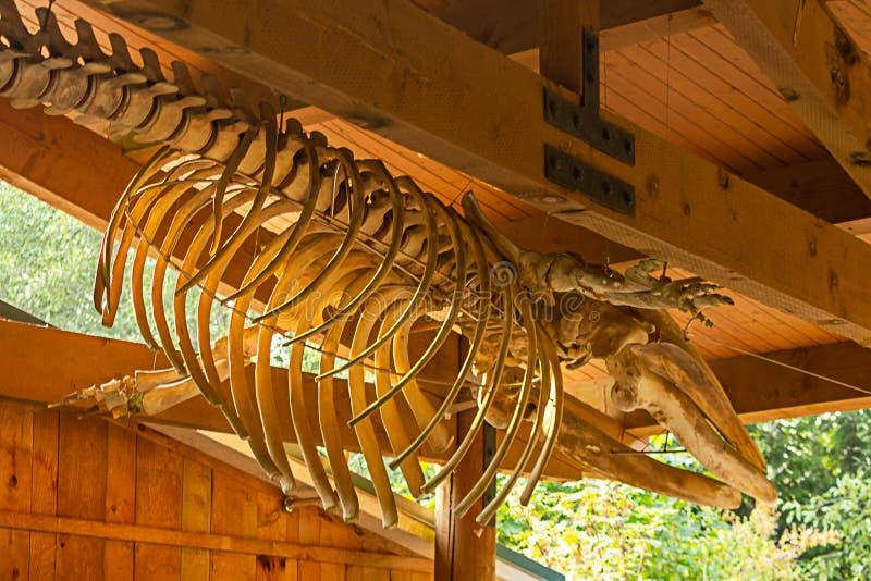 huesos de la ballena de la orca que cuelgan como exhibición bajo haces de madera foto de archivo