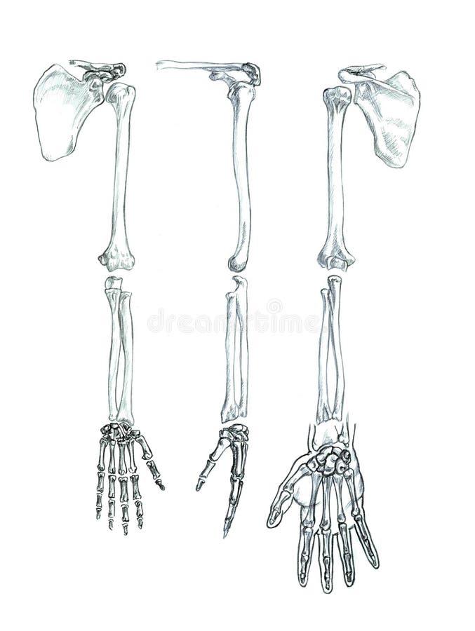 Huesos De La Extremidad Superior Stock de ilustración - Ilustración ...