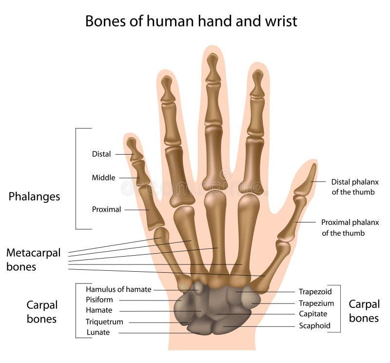 Huesos de la mano ilustración del vector