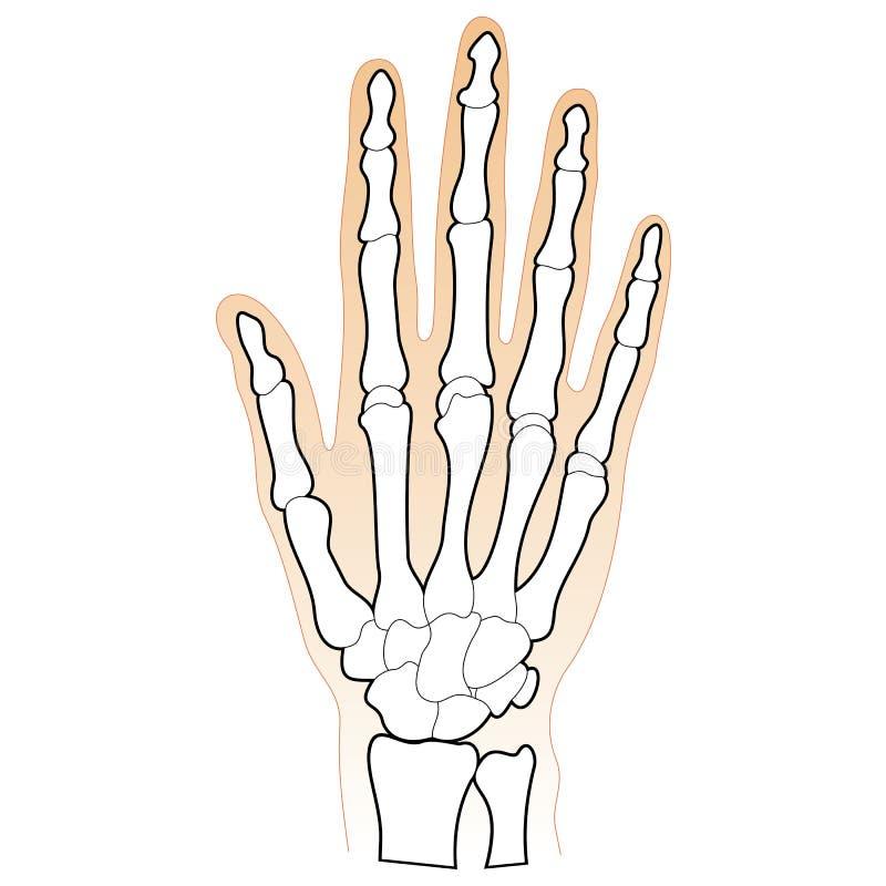 Huesos de la mano humana ilustración del vector. Ilustración de mano ...
