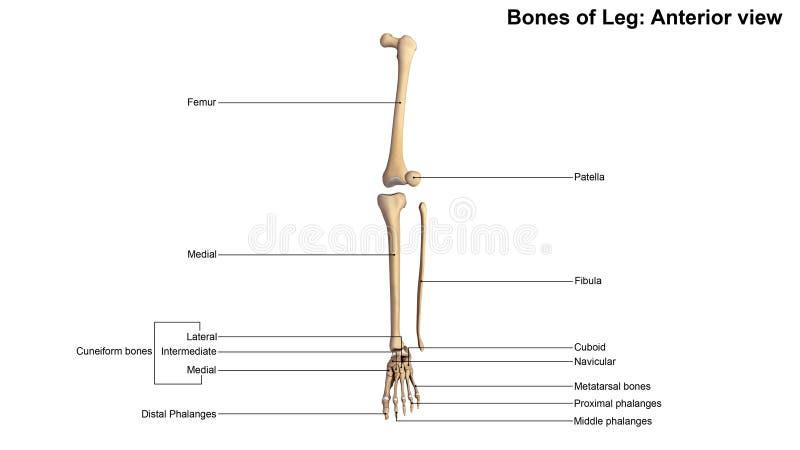 Huesos de la opinión anterior de la pierna foto de archivo