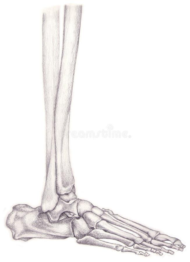 Huesos De La Pierna Y De Pie Stock de ilustración - Ilustración de ...