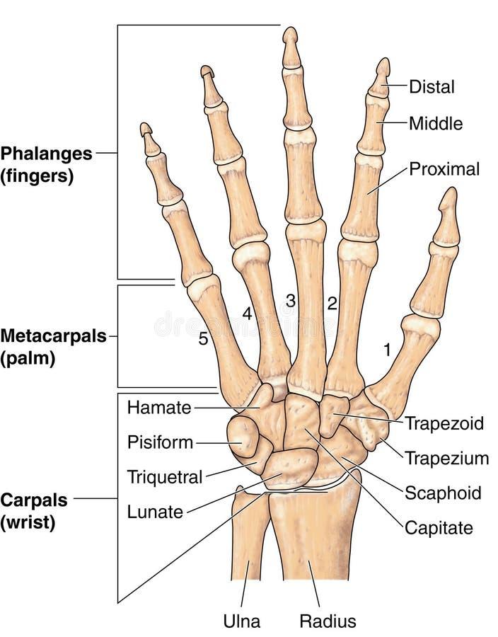 Huesos de mano ilustración del vector. Ilustración de ilustración ...