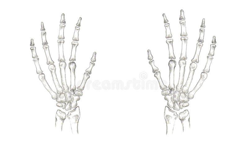Huesos de mano exactos foto de archivo libre de regalías