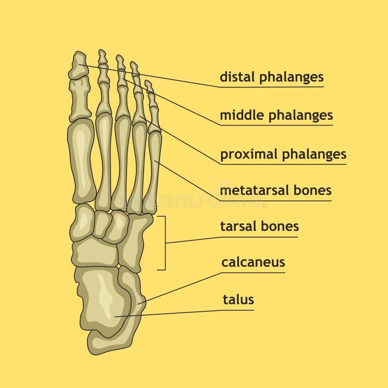 Vistoso Pie Ligamentos Diagrama Colección - Imágenes de Anatomía ...