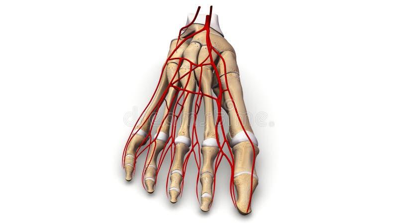 Huesos de pie con la opinión anterior de las arterias imagen de archivo libre de regalías