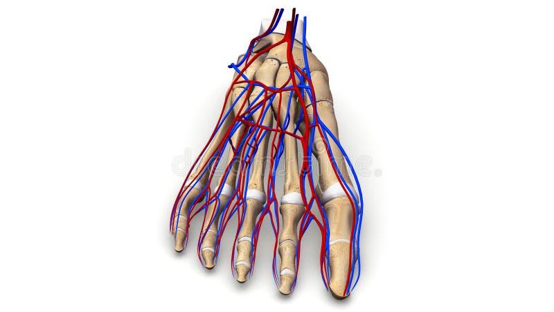 Huesos de pie con la opinión anterior de los vasos sanguíneos fotografía de archivo