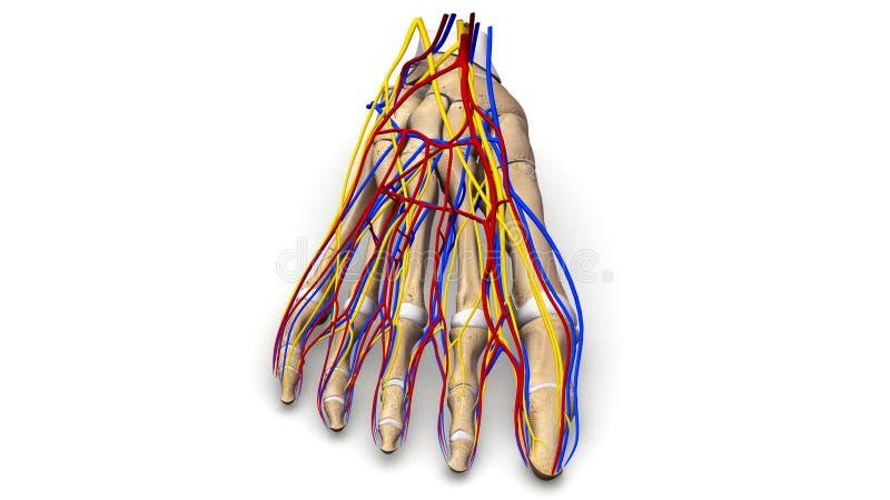 Huesos de pie con la opinión anterior de los vasos sanguíneos y de los nervios imagen de archivo libre de regalías