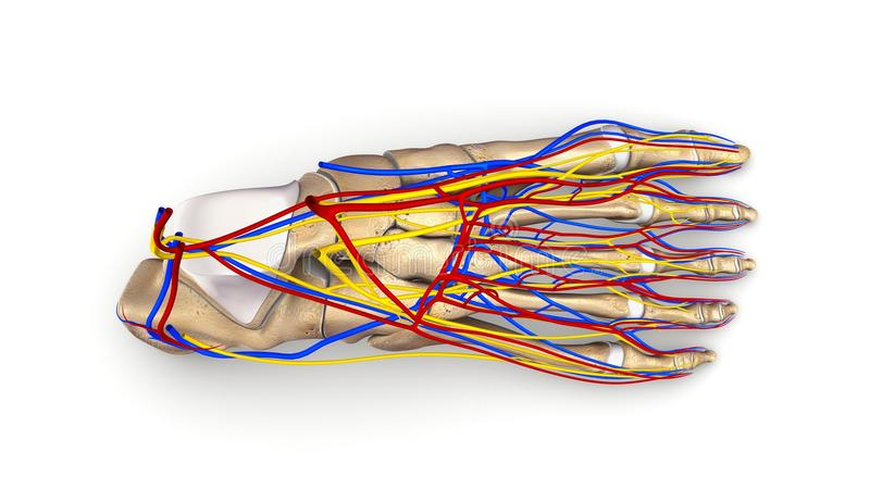 Huesos de pie con la opinión superior de los vasos sanguíneos y de los nervios foto de archivo