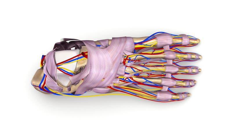 Huesos de pie con los ligamentos, los vasos sanguíneos y la opinión superior de los nervios imagen de archivo libre de regalías