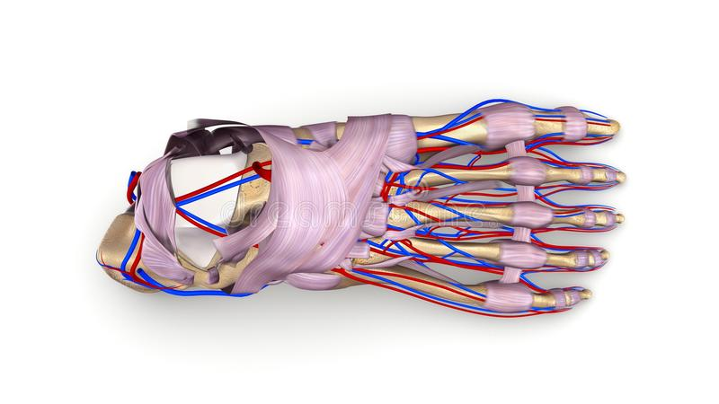 Huesos de pie con los ligamentos y la opinión superior de los vasos sanguíneos fotos de archivo