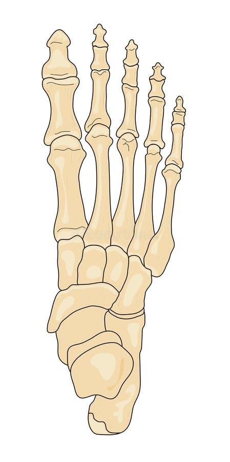 Huesos del pie ilustración del vector