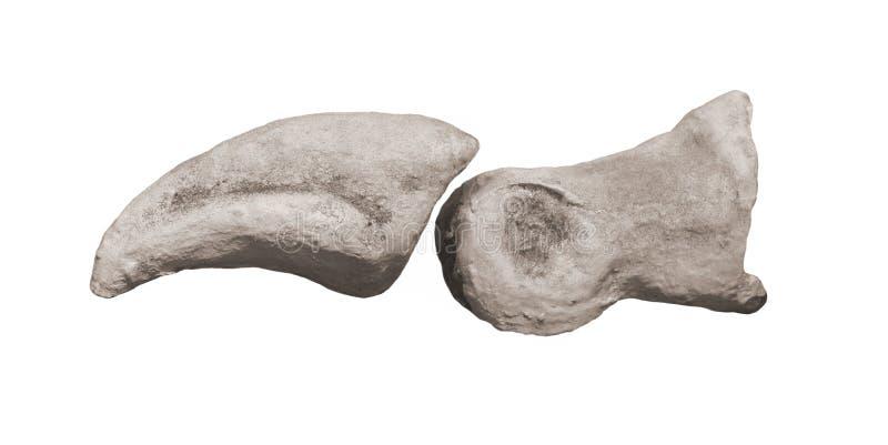 Huesos fósiles de la punta de un dinosaurio aislado. fotos de archivo