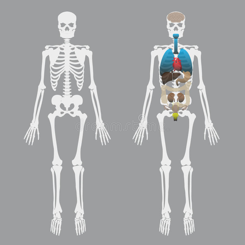 Huesos humanos blancos esqueléticos con los órganos humanos libre illustration