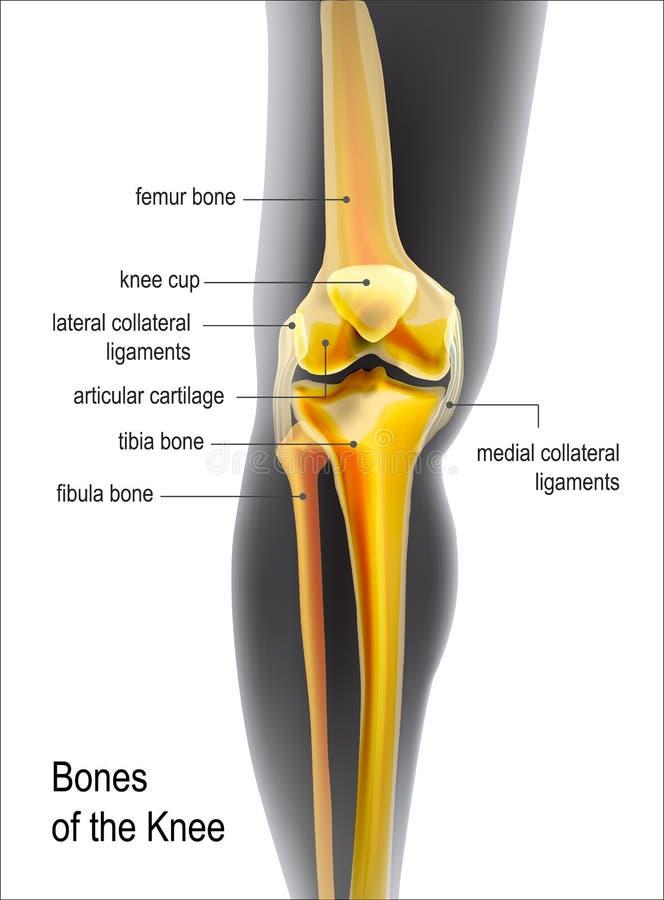 Huesos realistas amarillos claros de rodilla libre illustration