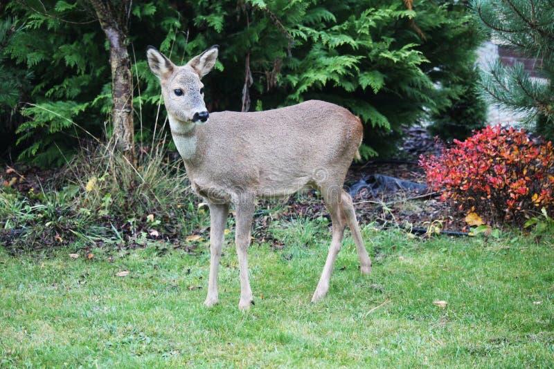 Hueva-ciervos en un jardín fotos de archivo
