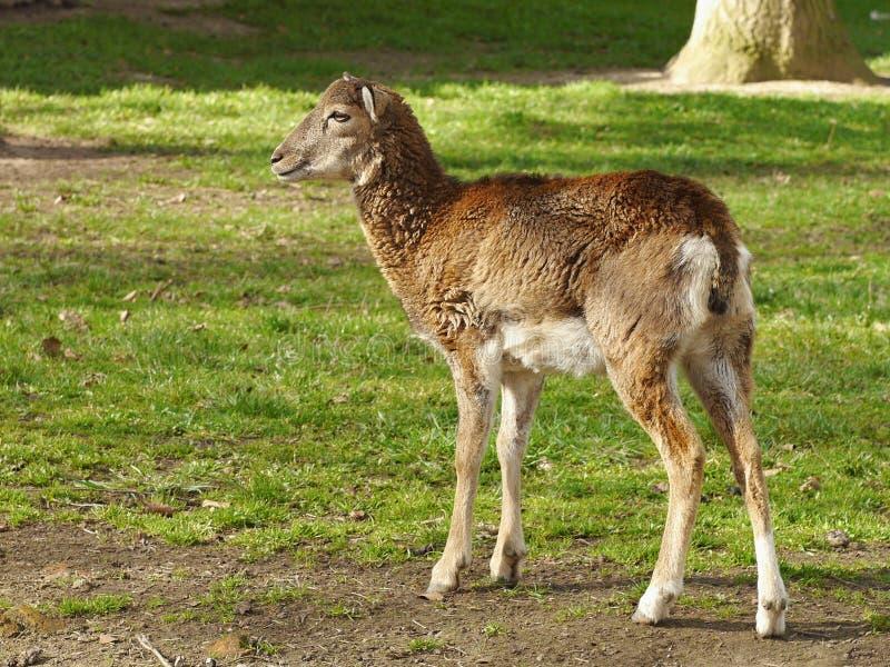 Huevas de Mouflon imagen de archivo libre de regalías