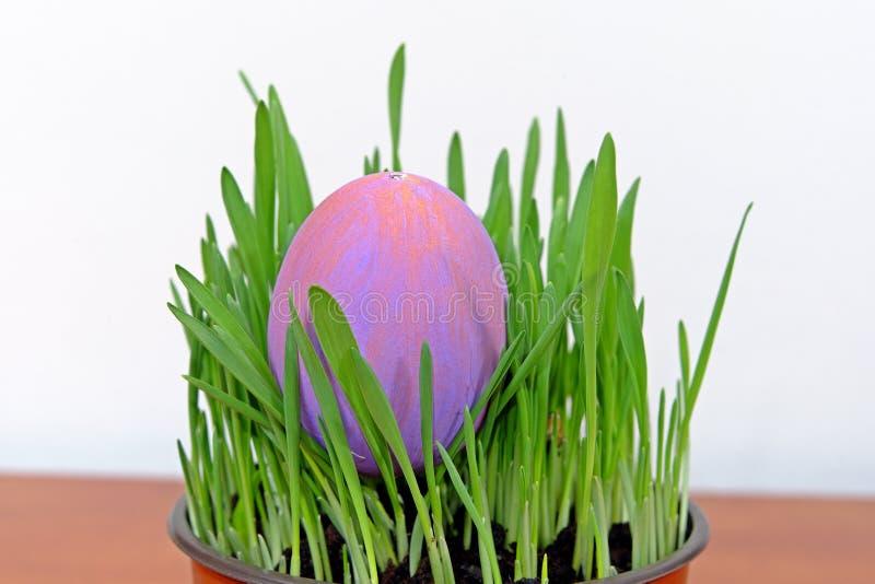 Huevo de Pascua púrpura en almácigos verdes en la tabla de madera imágenes de archivo libres de regalías