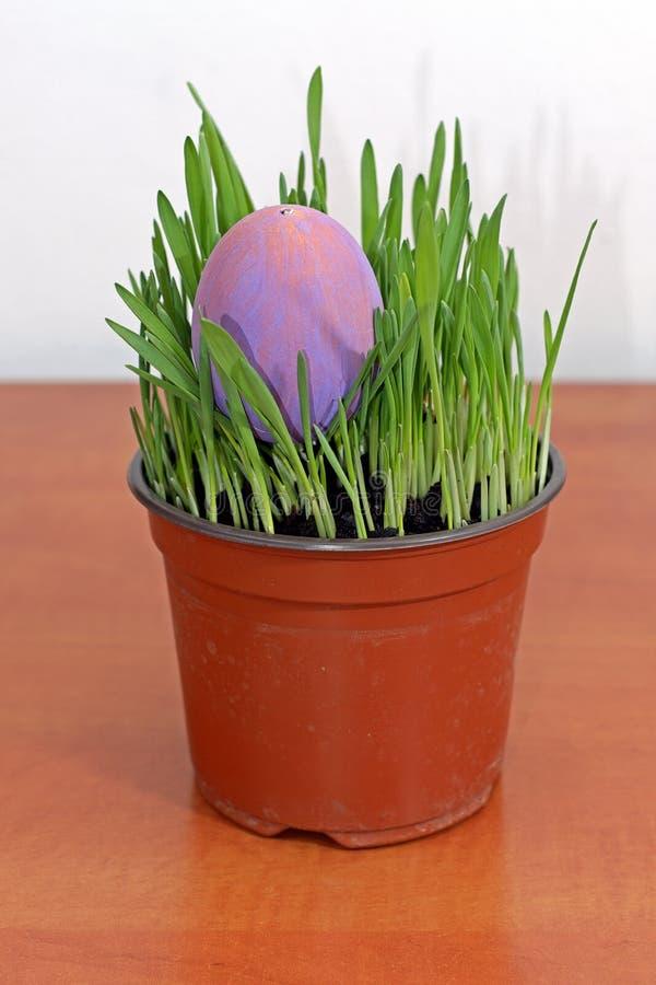 Huevo de Pascua púrpura en almácigos verdes en la tabla de madera imagenes de archivo
