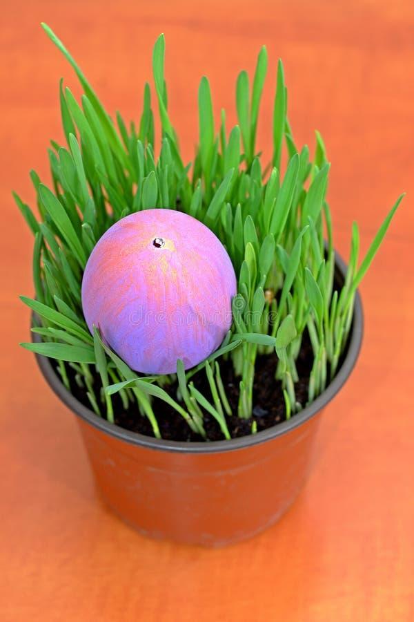 Huevo de Pascua púrpura en almácigos verdes en la tabla de madera imagen de archivo